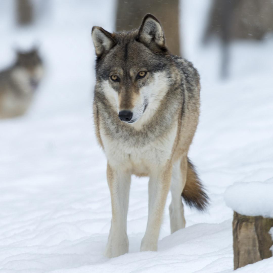 Lobo-Petkis-premiun-Barf